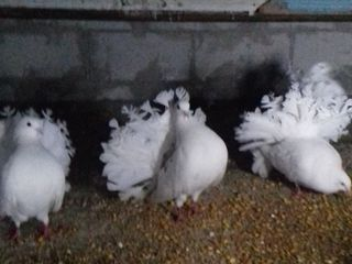de vinzare porubei curcani sau la schimb pe iepuri