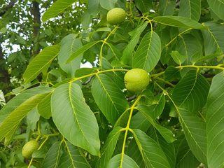 Орехи зеленые
