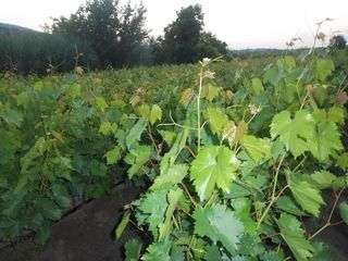 Саженцы виноградные
