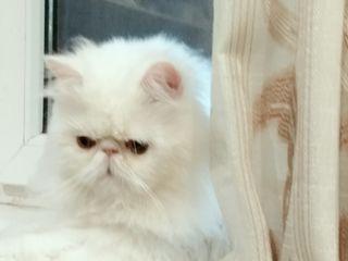 Красивый персидский кот(американские крови) приглашает девочку на вязку!