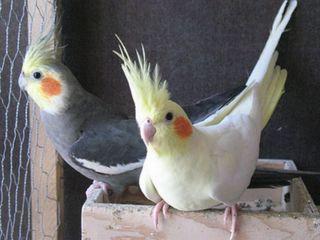 Продаю попугаев разных видов.есть клети корма.