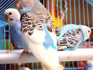 Молодые птенцы волнистых попугаев