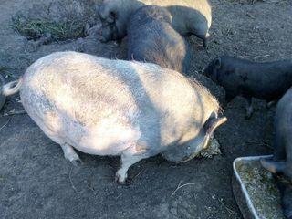 Vindem carne proaspata de porcei ecolojic-vietnameji crescuti in conditie de case la pret rezonabil,