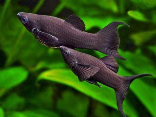 Золотые рыбки лира черная