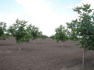 Livada de nuci 100 hectare