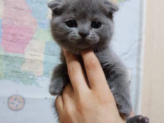 Vind pisici scottish