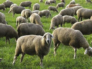 Кредиты на приобретение стада овец