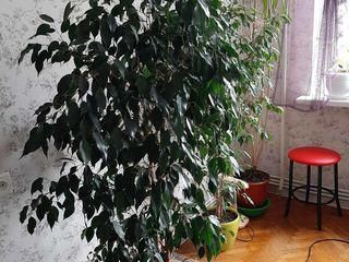 Ficus benjamin 1,5m китайская роза, dracena,Zamioculcas, Spathiphyllum
