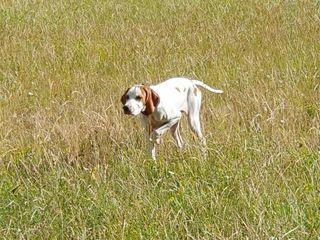 Натаска легавых собак для охоты, дрессировка.