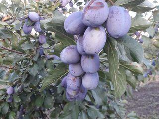 Se vinde livadă de pruni și visine 8 ha in total. negociabil