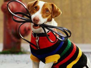 Городской сервис по выгулу собак, собака гуляка. Выгул собак всех пород. Безопасный выгул собаки.