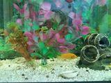 Vînd acvariumul cu un peştişor doi melci mari si mulți melci micuți