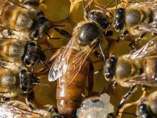 продам пчелосемьи 130 лей рамка