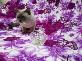 Тайский кот 4 года