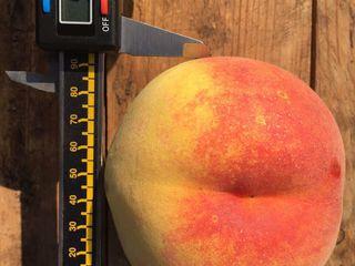 Продам сады - персика и сливы - 51га.