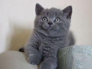 Котята голубого окраса