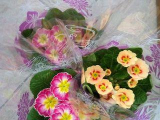 продаю цветы примула оптом и поштучно