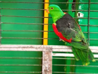 Доставка - Продам - краснокрылый попугай, птенец