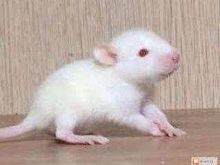 Крысята.Хомяки.Декоративные кролики.
