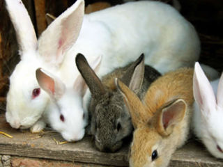 Granule pentru iepuri Гранулы для кроликов