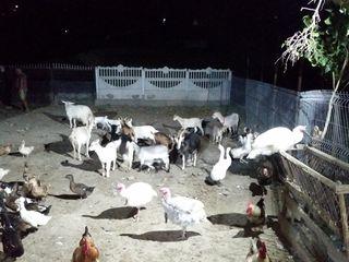 Vindem capre si gaste