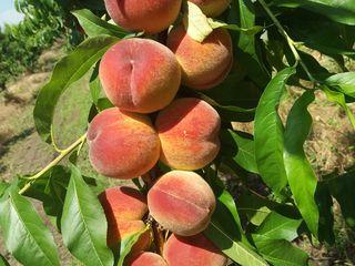 Urgent!!!se vinde livada de persic.