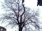 Спиливание деревьев любой сложности Арбористика
