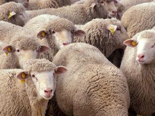 Cumpar cirlani oi berbeci si capre ! toata Moldova ! . la cîntar !