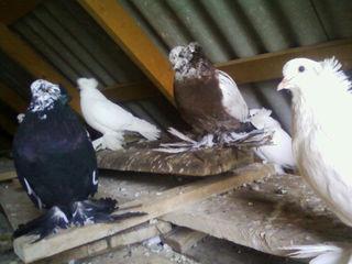 Vând hulubi, rasa uriaș unguresc / продаю голубей породы венгерский великан.