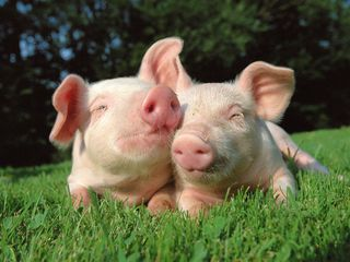 Продаю  корм для  свиней ,бычков ,коз ,овец  по ценам от производителя