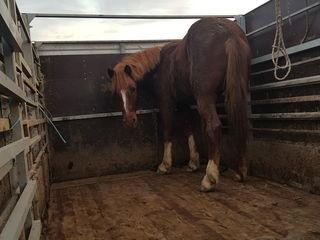 Cumpar cai si minz la cel mai bun pret ! Transport Gratis !!Куплю лошадей и жеребят по лучшим ценам!