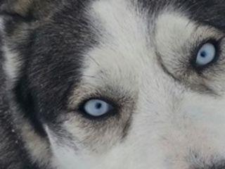 Кобель хаски для вязки siberian husky