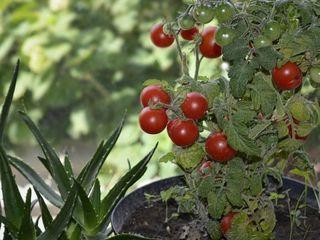 Мини-ферма - Домашние помидоры