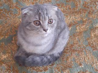 Продам шотландских котят  100€