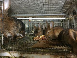 Продаются Кролики породы Рекс Шиншилла, Кастор