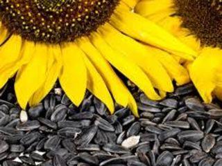 Cumparam floarea soarelui  in cantitati mari si mici