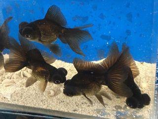 Тетра фон Рио золотые рыбки