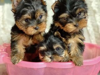 Щенки Йоркширский терьер /Yorkshire terrier/ Йорк