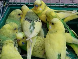 Волнистые Попугай. Perusi tineri.