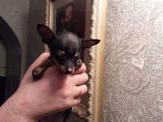 super mini-toy-terrier