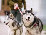Husky urgent !!!