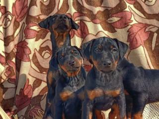 În vânzare 4 băieți de rasă Jagd terrier
