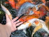 De vânzare pești decorativi carp koi