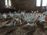Серебристые цыплята несушка