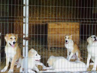 Продаются подрощенные щенки алабая