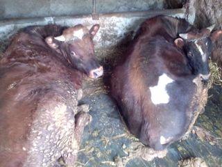 Vaci buhai cai la carne și crestere
