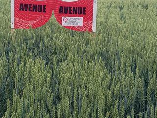 Semințe de grâu Limagrain: Avanue și Anapurna. Stoc limitat.