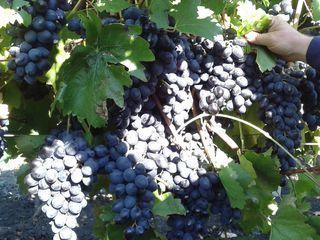 Vindem poama moldova pentru vin 7 lei kg