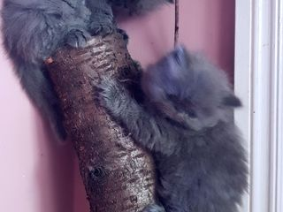 Pui pisica persana Albastru Superb !