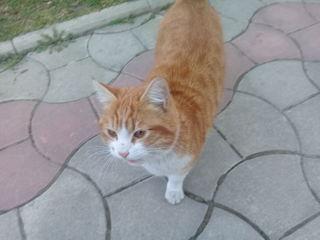 Нашелся кот рыже-белый с ошейником, молодой